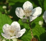 blackberry-flowers.jpg