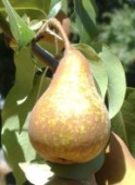 pear single smaller