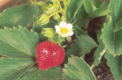 Strawberry Blossom 019